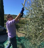 a man trimming trees in an olive grove.